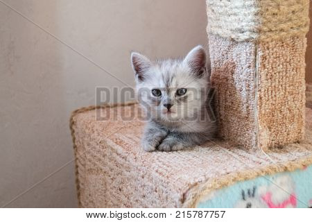 cute striped british kitten lying on the cat house with hello kitty poster