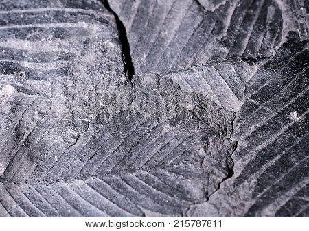 Closeup photograph of fossil remains of leaves. Gray and abstract look.
