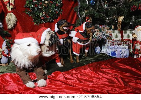 dogs, pets wishing a merry christmas, all dressed like little santas