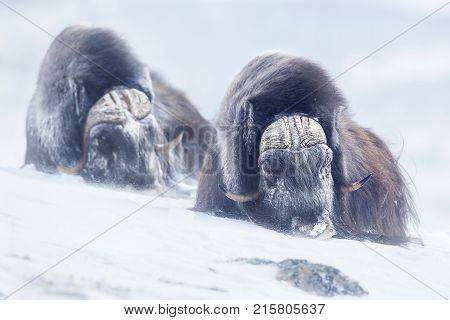 Two large adult male musk oxen in the mountains during tough cold winter conditions in Norway.
