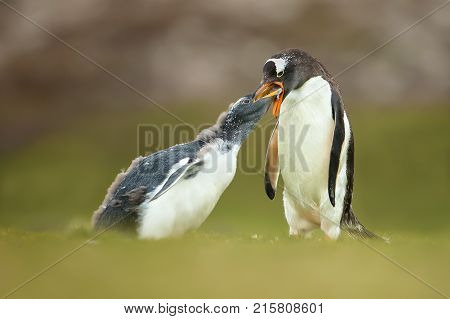 Isolated Adult gentoo penguin feeding a young molting chick in the Falkland islands