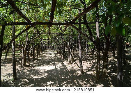 Lemon trees with fruit in Sorrento Naples Italy.