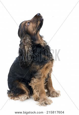 obedient pedigree cocker spaniel sat looking up isolated on a white background