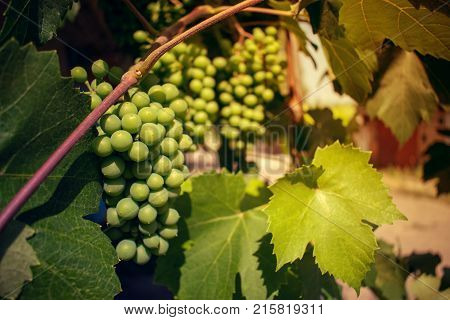 Bunch of green unripened grapes against the background of green leaves. Selective focus.