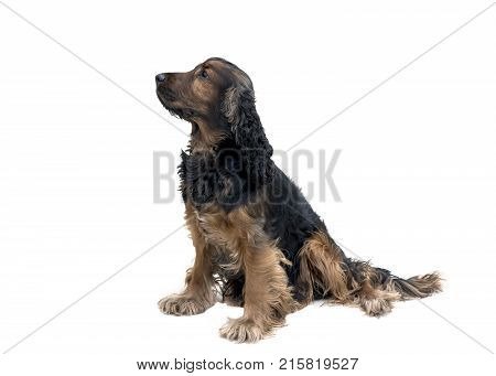 loyal obedient black and tan cocker spaniel sat waiting isolated on a white background