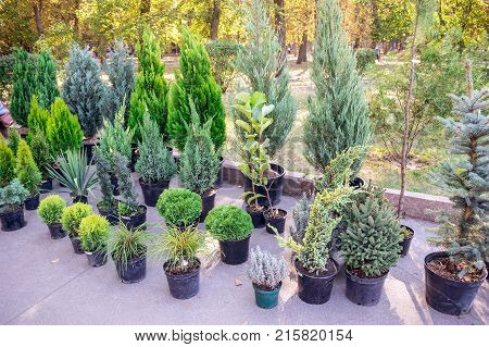 The market of plants for gardening: thuja fir trees juniper cypress in pots for sale. Home decoration of different young green conifer plants in pots