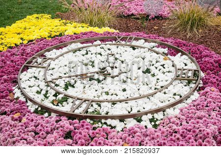 Flower bed in the form of round big clock with dial and arrow of white and pink varietal chrysanthemums. Floral decor of chrysanthemums for park and garden. Decorative composition of chrysanthemums. Landscape design idea