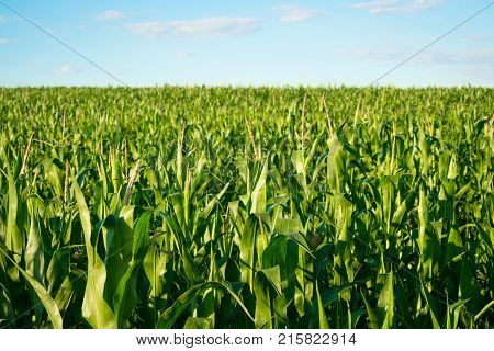Ripening green corn in cornfield on the blue sky on a sunny day. Ripening of corn in a rural plantation