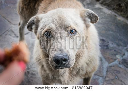 Big homeless hungry dog with sad eyes begs for food. A woman's hand stretches a piece of meat to a homeless dog. The concept of stray dogs a shelter for animals caring for pets