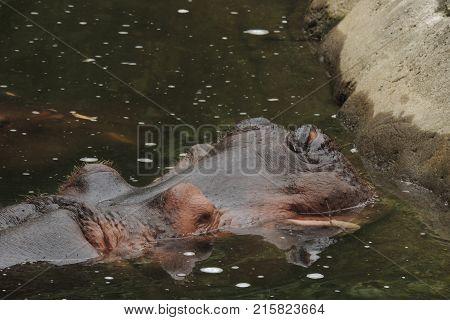 Hippopotamus nearly submerged at Wildlife Safari game park near Winston Oregon usa