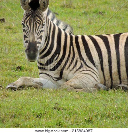 Zebra resting at Wildlife Safari game park near Winston Oregon usa