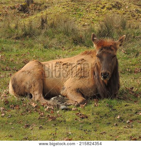 Elk resting in a field at Wildlife Safari game park near Winston Oregon usa during the daytime