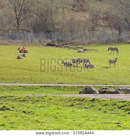 Animals resting, grazing and roaming the area at Wildlife Safari game park near Winston Oregon usa