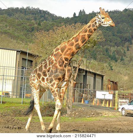 Giraffe roaming the grounds at Wildlife Safari near Winston Oregon usa