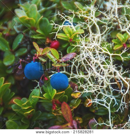 Blueberry, branches of cowberry and deer moss