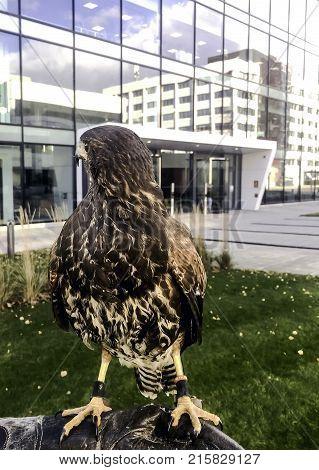 The Harris's hawk formerly known as the bay-winged hawk or dusky hawk - Hayes, United Kingdom