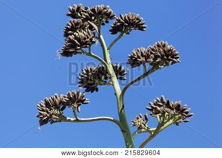 Seeds Of An American Aloe