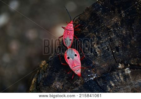 Pink beetle mating on rainy day, Insect in tropical zone, sex of the animal.