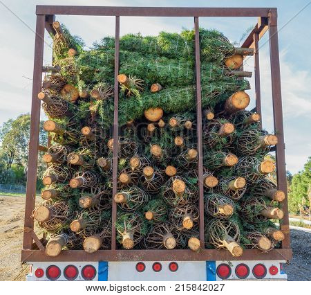 Many Christmas trees are stacked in the back of a truck