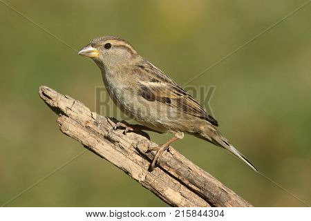 Female House Sparrow Passer domesticus with a green background