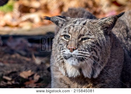 Bobcat (Lynx rufus) closeup in the Fall has squnted eyes and pointed ears
