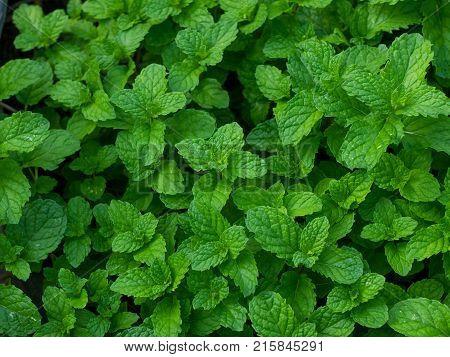 mint plant grow at vegetable garden mint,green mints.