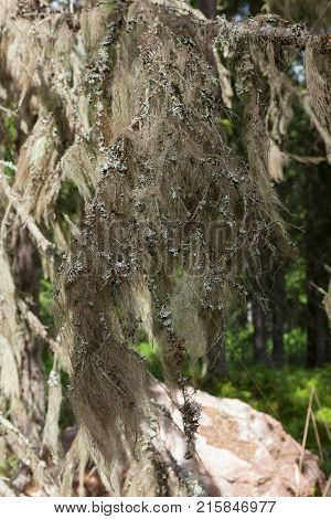 Beard moss hanging in spruce twig in forest