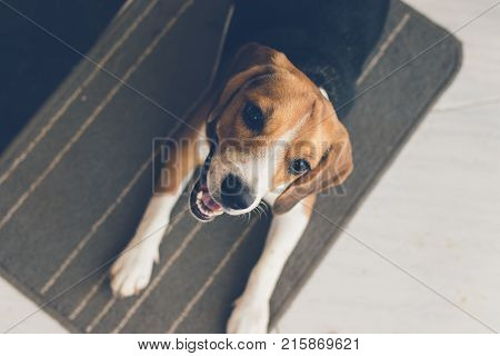 Cute young beagle puppy dog laying indoors. Female beagle dog.