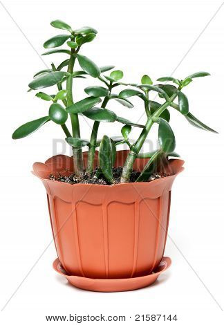Money Tree In Brown Plastic Pot