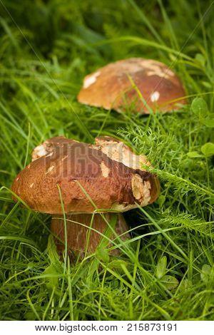 Boletus Edulis. Edible White Mushroom Boletus Edulis Grow In Green Grass In Forest Close Up. Delicate Mushroom.