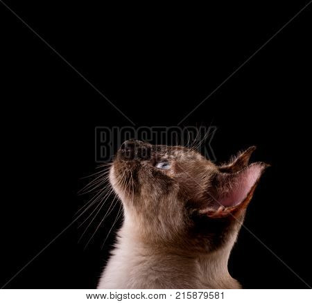 Profile of a tortie point Siamese cat looking up above her, against black background