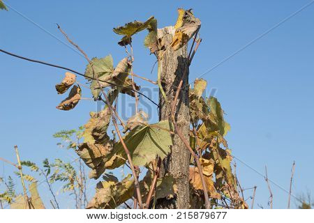 At the end of the season & after grape picking the vine leaves begin to yellow. Vine with green and yellow leaves on background of blue sky in sunny day