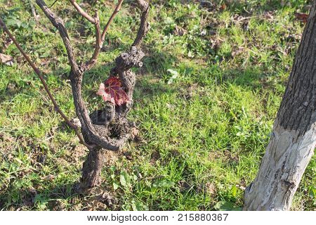 Grape vine in fall after grape picking. Red leave Green grass