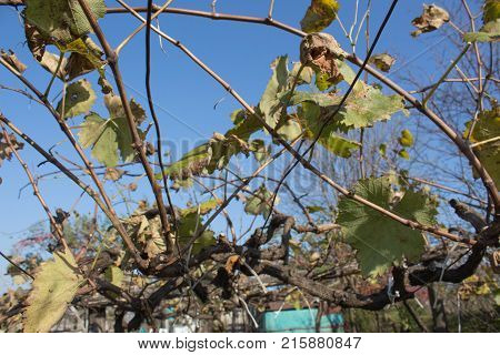 Photo of grape leaves background autumn after harvest season. Farming nature fall foliage autumnal grapes branch
