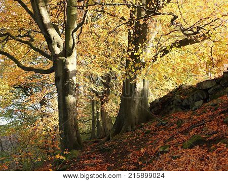 autumn sunlit forest with two giant beech trees in fall colours with stone wall and fallen leaves