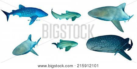 Sharks isolated on white backgorund. Whale Shark, Leopard (Zebra) and Bull Shark