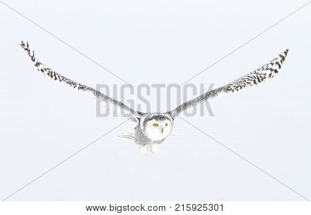 Snowy owl (Bubo scandiacus) hunting over an open snowy field in Canada
