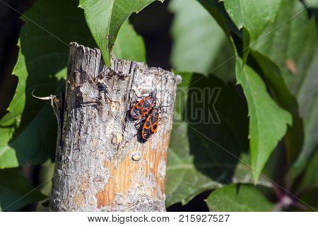 Two beetles of firebug sit on a wooden peg (Pyrrhocoris apterus)
