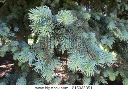 Branches with blueish green needles of spruce