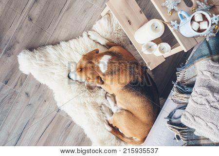 Beagle dog sleeps on fur carpet in living room cozy christmas time atmosphere
