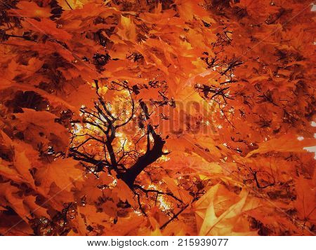 Maple tree around which flaunt orange leaves in autumn