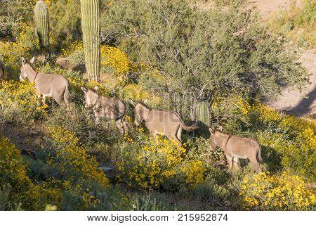 cute wild burros (donkeys) in the Arizona desert in spring