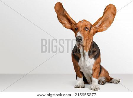 Dog hound basset basset hound background small isolated
