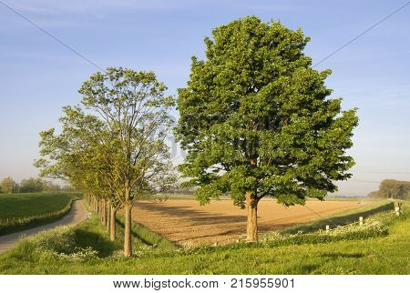 Two trees along a dike on a beautiful morning in spring on the Isle of Dordrecht