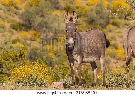 a cute wild burro in the Arizona desert in spring