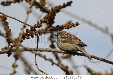 Sparrow on a branch Spring Small birds. The Eurasian tree sparrow. Ukraine. 2017.