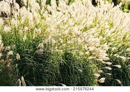 Large gathering of sea oats plants in the sunlight