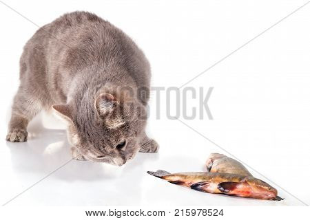 Cat and fish on a white background. The gray domestic cat creeps to fish. Fish lies near a cat. Close up selective focus