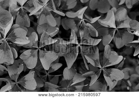 Oxalis tetraphylla, Oxalis Deppei. False Four - Leaved Clover, Heppy CLover. Monochrome Top View Abstract Natural background.