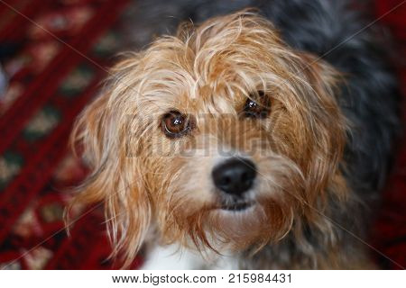 A hair terrier mongrel dog with brown eyes and floppy ears